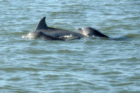 Sonny Boy Charters~ Dolphins Feeding at Low Tide